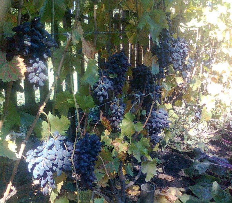 Фотографии винограда сорта Виерул